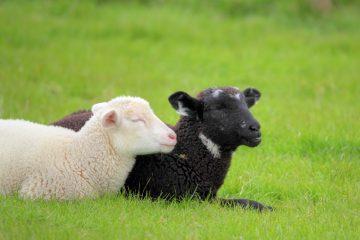 Schwarze und weiße Schafe