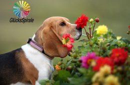 Hund schnüffelt an Blumen