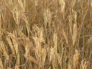 Grasland in Kenia